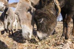 Donkey on a meadow in Praglia plateau in Liguria stock photo