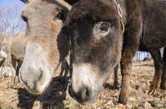 Donkey on a meadow in Praglia plateau in Liguria royalty free stock image