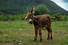 Donkey on the meadow Stock Photography
