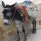 Donkey in Medina of Fez. Moroccan donkey covered with blankets waiting for loading Stock Photo