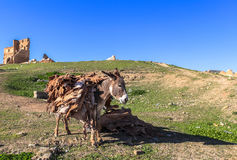 A donkey at Merenid Fortress of Fes, Morocco Royalty Free Stock Photo