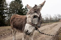 Donkey Milano a faithful companion stock photography