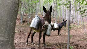 Donkey with milk cans Stock Image