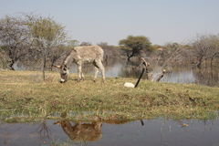 Donkey at a mirror Stock Images