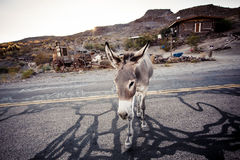 Donkey in the Mojave Desert Royalty Free Stock Images