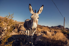 Donkey in the Mojave Desert Stock Photography