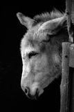Donkey in monochrome Royalty Free Stock Images
