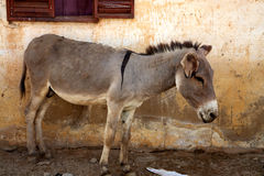 Donkey in mopti Royalty Free Stock Image