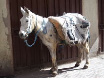 Donkey in Morocco. A cute donkey in the street in Fez in February, Morocco Stock Image