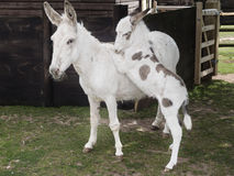 Donkey mother and foal Royalty Free Stock Images