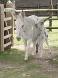 Donkey mother and foal Royalty Free Stock Image
