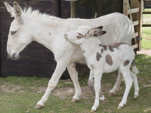 Donkey mother and foal. Mother donkey with 3 week old foal Royalty Free Stock Image