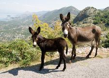 Donkey mother with its baby Royalty Free Stock Photo