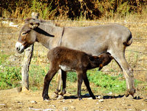 Donkey mother and son Stock Image