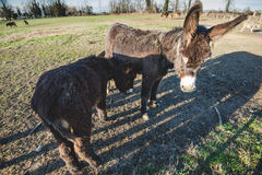 Donkey mother and son. Donkey mother and her little puppy stock photo