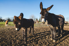 Donkey mother and son. Donkey mother and her little puppy royalty free stock image