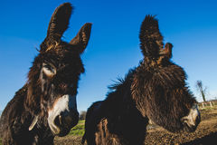 Donkey mother and son. Donkey mother and her little puppy royalty free stock images