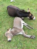 Donkey mother and son sleeping Stock Images