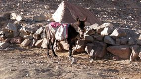 Donkey on Mount Sinai, Egypt Stock Photos