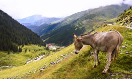 Donkey in mountain area Royalty Free Stock Photo