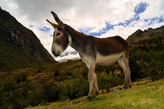 Donkey in the mountains. A donkey, Equus africanus asinus, grazing in a mountainous area Stock Photo