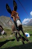 Donkey in mountains Royalty Free Stock Photo