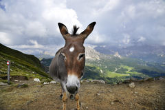 Donkey and mountains Stock Image