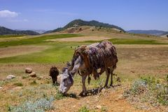 Donkey in the mountains of Morocco Stock Photography
