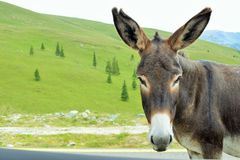 Donkey in the mountains Parang, Romania. Royalty Free Stock Photo