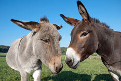 Donkey and mule Stock Image