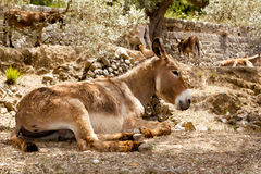 Donkey mule sitting in Mediterranean olive tree. Shade in Mallorca island Royalty Free Stock Images