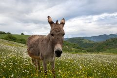 Donkey muzzle very close up: funny animal picture.  stock photography