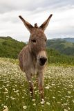 Donkey muzzle very close up: funny animal picture.  royalty free stock image