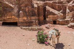 Donkey in nabatean city of  petra jordan Stock Images