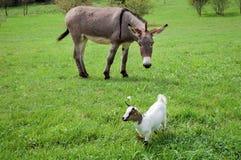 Donkey and nanny Stock Images