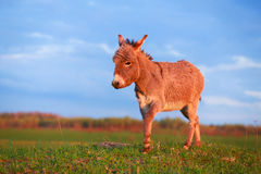 Donkey. In nature in evening Stock Photos