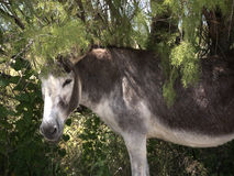 Donkey on Nature Reserve at Skala Kalloni Lesvos Greece Stock Images