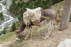 Donkey near climbing camp Dugoba, Pamir-alay Royalty Free Stock Photos