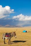 Donkey near Song-Kul lake Stock Image