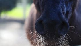 Donkey Nose in Barn. Donkey animal Nose in Barn video stock video