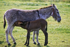 Donkey nursing foal in meadow Stock Images