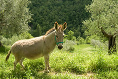 Donkey In Olive Grove Royalty Free Stock Image
