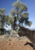 Donkey and Olive Tree Stock Images