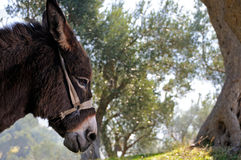 Donkey and olive tree Stock Photo