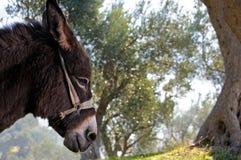 Donkey and olive tree Stock Photo