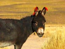 Donkey. One of the cute donkeys in Cordillera de Lipez Royalty Free Stock Photography