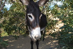 Donkey. Is one of the symbols of Crete royalty free stock image