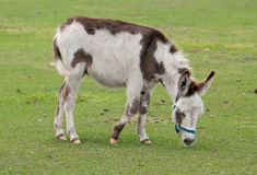 Donkey Paint Royalty Free Stock Photos