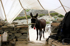 A Donkey in the Parachute Tent Stock Photography