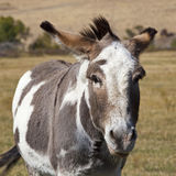 Donkey in pasture Royalty Free Stock Image